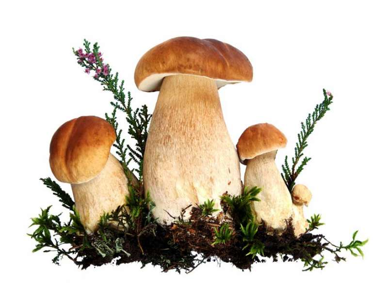 Обои на рабочий стол грибы опята 7